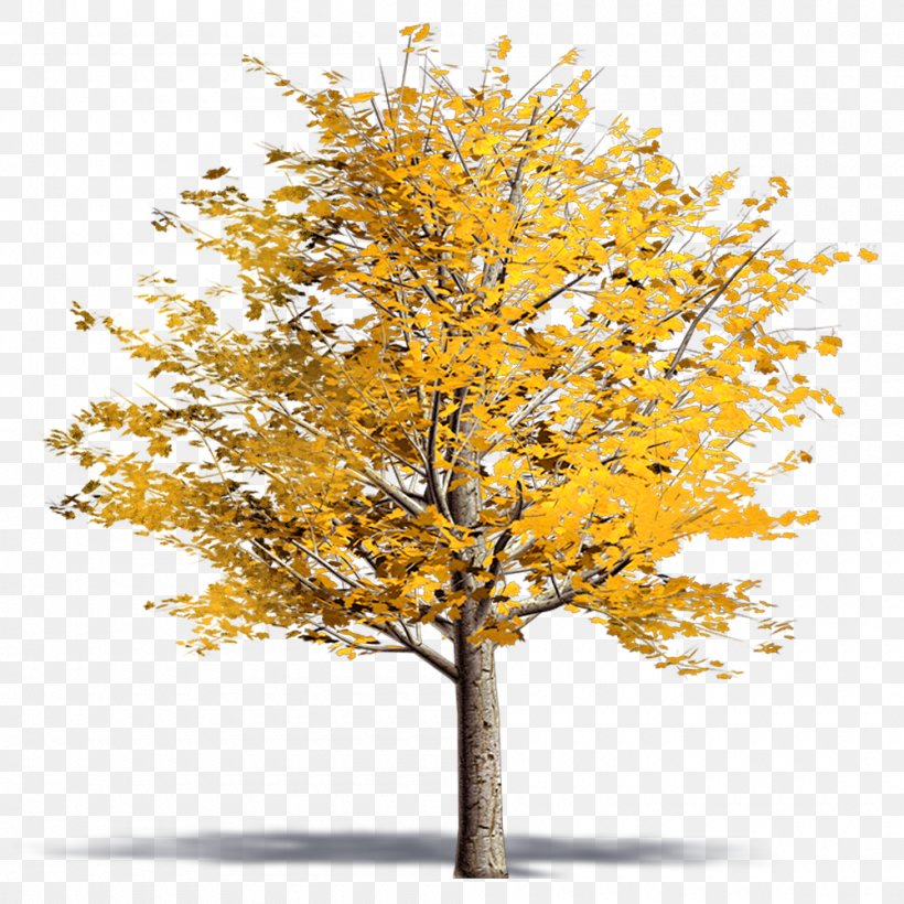 Twig Plane Trees Ginkgo Biloba Plane Tree Family Png 1000x1000px