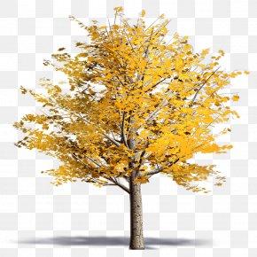 Acer Platanoides - Twig Plane Trees Ginkgo Biloba Plane Tree Family PNG