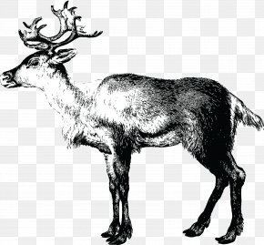 Reindeer - Reindeer Lapland Christmas Santa Claus PNG