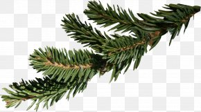 Christmas Tree Branch - Fir Branch Spruce Christmas PNG