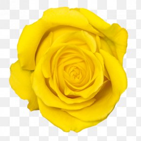 Yellow Rose Transparent - Yellow Rose Flower PNG