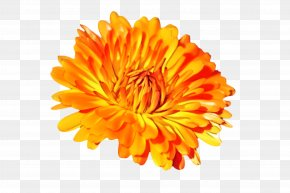 Daisy Family Calendula - Flowers Background PNG