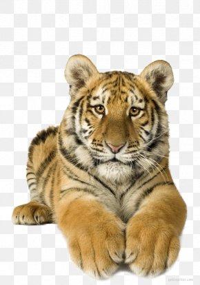Lion - Lion Bengal Tiger Felidae Animaatio White Tiger PNG