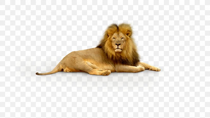 Lion Tiger Wallpaper, PNG, 1036x585px, Lion, Animal, Big Cat, Big Cats, Carnivoran Download Free