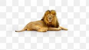 Lion - Lion Tiger Wallpaper PNG
