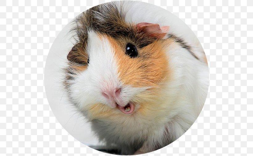 My Guinea Pig Wild Boar Desktop Wallpaper Funny Pig Png