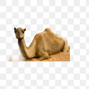 Camel - Dromedary Bactrian Camel Desert PNG
