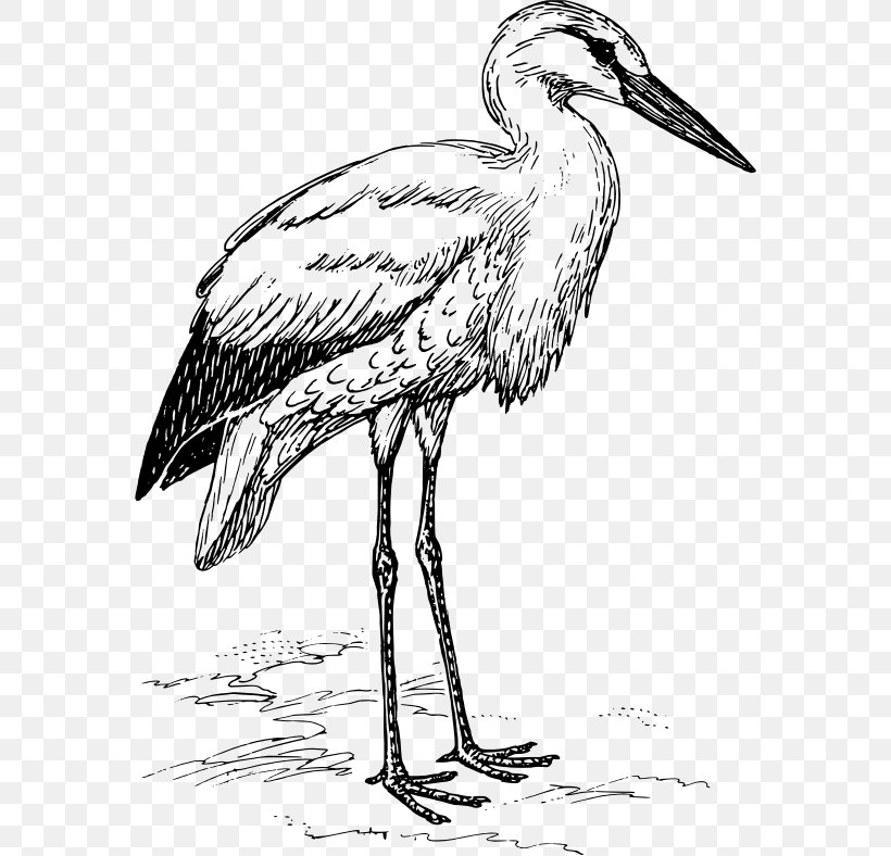 White Stork Heron Marabou Stork Bird, PNG, 572x788px, White