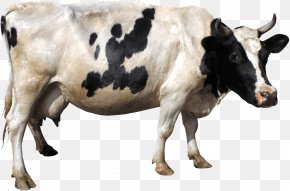 Cow Image - Holstein Friesian Cattle Gyr Cattle Clip Art PNG