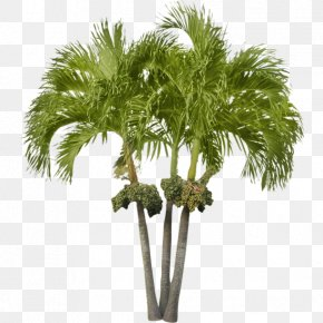 Small Tree - Arecaceae Asian Palmyra Palm Attalea Speciosa Date Palm Tree PNG