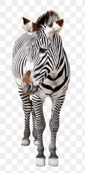 Zebra Image - Horse Hinny Quagga Zebra Lexus ES PNG