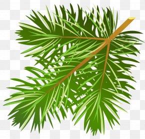 Transparent Pine Branch Clipart - Pine Conifer Cone Branch Clip Art PNG