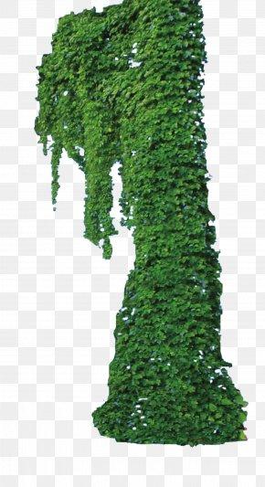 Ivy Plant - Vine Plant PNG
