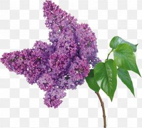 Lilac - Lilac Flower Bouquet Branch Petal PNG