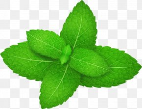Vector Green Mint Leaves - Mentha Spicata Peppermint Herb Leaf PNG