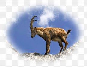 Goat - Goat Chamois Alpine Ibex Animal Lynx PNG