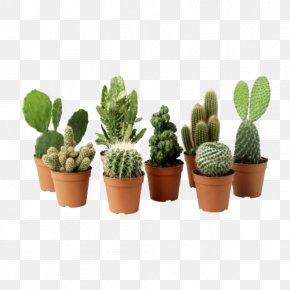 Cactus Plant Clipart - Ficus Microcarpa Cactaceae Houseplant Flowerpot PNG