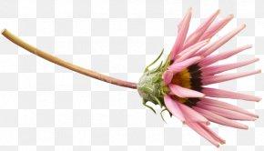 Chrysanthemum - Petal Chrysanthemum Indicum Flower PNG
