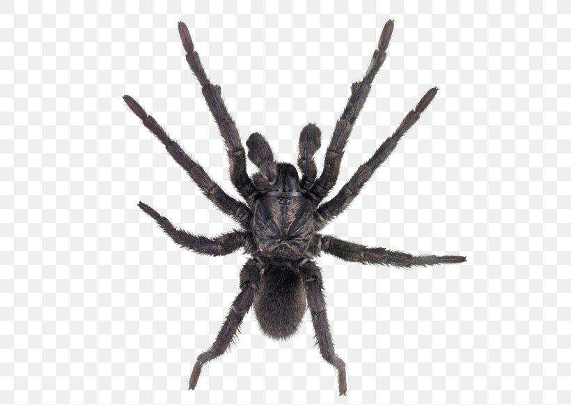 Sydney Brown Trapdoor Spider Missulena Sydney Funnel-web Spider, PNG, 526x581px, Spider, Arachnid, Araneus, Arthropod, Goliath Birdeater Download Free