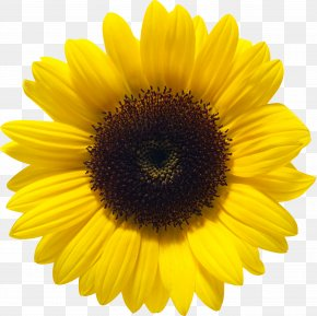 Sunflower - Common Sunflower Color PNG