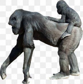 Orangutan - Primate Orangutan Ape Common Chimpanzee Stock Photography PNG