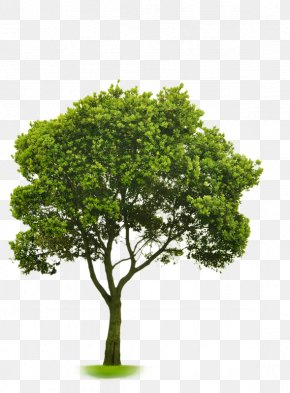 Tree - Choosing Small Trees Stock Photography American Sycamore Tree Planting PNG