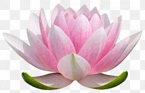 Water Lilies - Nelumbo Nucifera Water Lilies Stock Photography Flower PNG