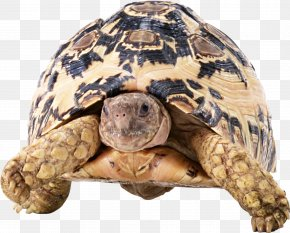 Turtle - Turtle Tortoise Reptile PNG