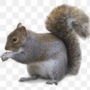 Squirrel - Fox Squirrel Trapping Southern Flying Squirrel Fur PNG