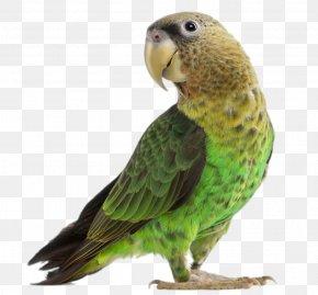 Green Parrot - Parrot Lovebird Budgerigar Cockatiel PNG