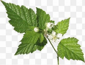 Leafs - Leaf Herb Plant Common Nettle Archive File PNG