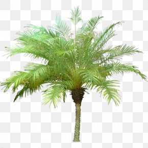 Tree - Arecaceae Tree Canary Island Date Palm PNG