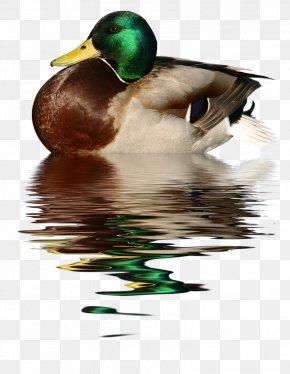 Duck - Duck Goose Bird Mallard Trumpeter Swan PNG