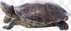 Turtle PNG - Turtle Shell Reptile Hermann's Tortoise Wallpaper PNG