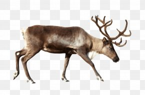 Reindeer Pictures - Reindeer Stock Photography Royalty-free Clip Art PNG