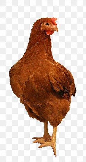 Chicken Farm - Rooster Leghorn Chicken Rhode Island Red Sussex Chicken Plymouth Rock Chicken PNG