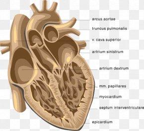 Heart - Heart Venn Diagram Anatomy Clip Art PNG