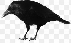 Crow Transparent - American Crow New Caledonian Crow Rook Common Raven Feather PNG