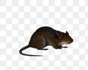 Rat Image - Brown Rat Mouse Black Rat Clip Art PNG