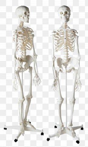 Skeleton - Human Skeleton Homo Sapiens Bone PNG