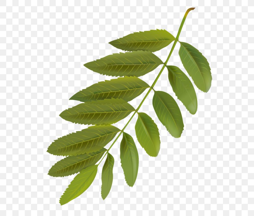 Leaf Flower Plant Tree Woody Plant, PNG, 606x699px, Leaf, Branch, Flower, Flowering Plant, Plant Download Free