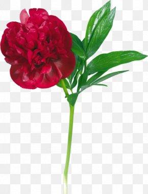 Peony - Garden Roses Peony Flower Clip Art PNG