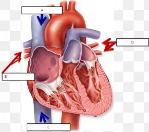 Heart - Anatomy Of The Heart Chart Human Body Diagram PNG