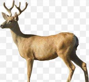 Deer Image - White-tailed Deer Moose Roe Deer PNG