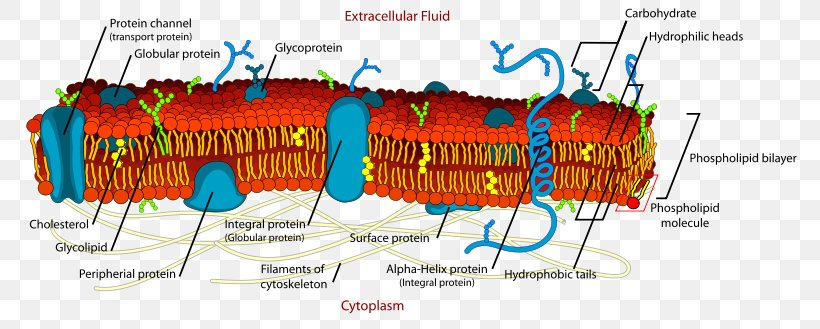 Cell Membrane Biological Membrane Biology, PNG, 800x329px ...