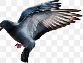 Pigeon Image - Domestic Pigeon Columbidae Flight PNG