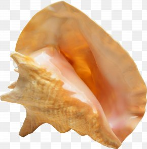 Seashell - Seashell Raster Graphics Clip Art PNG
