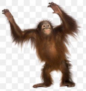 Gorilla - Common Chimpanzee Gorilla Monkey Primate Sumatran Orangutan PNG