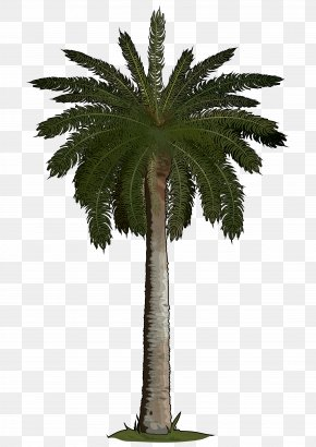 35 - Arecaceae Sago Palm Tree Areca Palm Phoenix Roebelenii PNG
