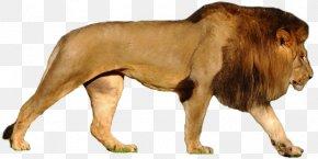 Bear - Felidae Lion & Tiger Bear PNG